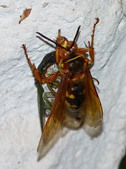 Eastern Cicada Killer with a cicada (Dendroica cerulea) Tags: summer garden newjersey wasp nj insects highlandpark arthropoda arthropod hymenoptera insecta cicadakiller hexapoda apoidea spheciusspeciosus middlesexcounty aculeata crabronidae easterncicadakiller sphecius bembicinae bembicini spheciina
