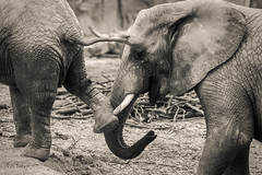 Nandi Kicks Her Brother (marzipan bunny) Tags: arizona blackandwhite bw elephant animals zoo 1 tucson july nandi blackandwhitephotography babyelephant 2016 blackandwhitephoto reidparkzoo elephantbaby zoophotography