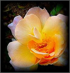Natural Beauty (dimaruss34) Tags: newyork flower brooklyn image dmitriyfomenko