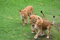 friends (castorssito) Tags: zoo big nikon felinos felines lioness nikond3200 cats2 grandesfelinos