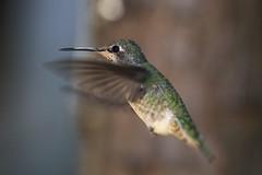 Hummingbirds in our Backyard - 6 (fksr) Tags: hummingbird bird sanrafael marincounty california flying inflight