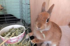 Ichigo san 248 ICHIGO san  (mensore) Tags: brown bunny cute family ichigo netherland dwarf netherlanddwarf pet rabbit