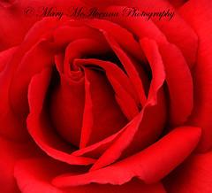 Gordon's College Rose (Mary McIlvenna Photography) Tags: flora rosa rose rosegordonscollege floralart macro red closeup flower