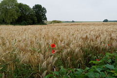 Poppies in the corn on the Somme (Richard Buckley) Tags: somme centenary picardy france battle war memorial poppies field corn scene view statue soldier basilica cross headstone grave greatwar worldwar1 caribou troops irish newfoundland australian shell artillery cemetery trench ceremony
