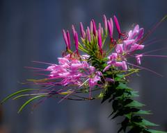 DSC_1109 edited-303 (pattyg24) Tags: cleome milwaukeecountyzoo pink wisconsin flower nature plant summer