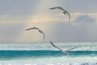 Tern take-off.