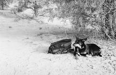 RAD20160610_014 - Munga Thirri Expedition (Kodak BW400CN) (Cecilia Temperli) Tags: rad20160610 arollinadayadayinaroll australia camelexpedition camels dromedaries dromedary trekking desert packcamels film kodak kodakbw400cn nikon nikonfm3a simpsondesert mungathirrisurveyexpedition australiandesertexpeditions australiansheepdog australiankelpie kelpie