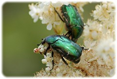 Rose chafers (PA Robertson) Tags: red green insect carapace rosechafers