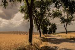 Campos de cereal.jpg (JOSSUKO) Tags: camino guadalajara paisaje verano cereales campos trigo