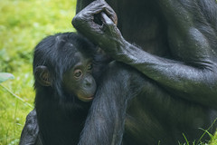 2016-07-07-0135 (BZD1) Tags: bonobo animal synapsida mammal prim haplorhini hominidae hominini pan nature koelnerzoo panpaniscus