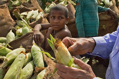 Boy Watching as Sweet Corn is Shucked (IFPRI-IMAGES) Tags: boy india plant field season children corn village outdoor farm farming grain cereal grow vegetable soil health crop produce farmer sack agriculture yield process maize cultivation sustainable pulses burlap nutrition southasia manoli haryana fertile shuck sonipat smallfarms foodsecurity agriculturaldevelopment micronutrients ifpri