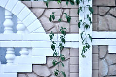 The Green Creeper Plant (lyule4ik) Tags: wall vine plant garden wallpaper natural green leaf fence ivy texture background nature exterior botany creeper tree living bush outdoor brick foliage primula park vein spring flower unity creeping light building climber ornamental flora twig backdrop age architecture growth home classic house covering plaster space branch image pattern surface cement