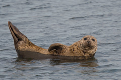 Top Banana (Tim Melling) Tags: phoca vitulina common harbour harbor seal teesside timmelling