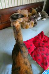 """Pet me!"" Gracie 10 August 2016 0607Ri 4x6 (edgarandron - Busy!) Tags: cat cats kitty kitties tabby tabbies cute feline gracie patchedtabby"
