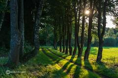 In light of the evening sun (anton_zach) Tags: natur sonne abendsonne baum bume allee outdoor waldviertel weg unterwasserreichschrems landschaft wald pflanze