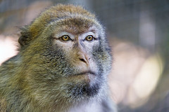 Next portrait of a macaque (Tambako the Jaguar) Tags: portrait close face looking attentive macaque barbary primate ape monkey jonskleinefarm kallnach zoo bern switzerland nikon d4