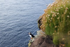 Puffin (MigKenzie Photos) Tags: puffin scotland animal bird sea coast north highlands uk britain united kingdom cliff bokeh soft cute wild wildlife nature dunnet drop height colour sunset golden hour goldenhour waves small