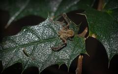 Sidymella rubrosignata (dustaway) Tags: nature rainforest australia nsw arthropoda rotarypark arachnida lismore araneae araneomorphae thomisidae australianspiders northernrivers sidymellarubrosignata
