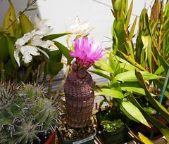 Echinocereus rigidissimus var. rubrispinus 6-16 (nolehace) Tags: sanfrancisco nolehace 616 fz1000 echinocereus rigidissimus var rubrispinus