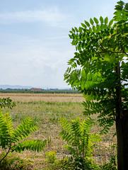 IMG_2084 (Lalalleba) Tags: country tree nature green summer leaves horizon