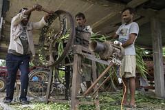 Farmer Krishna Chandra Yadav gets help to slice Napier grass for cattle feed with a hand-powered cutting machine in Sirkohiya, Bardiya. (CIMMYT) Tags: nepal csisa cimmyt maize agriculture smallholder farmer mechanization asia