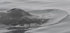 Humpback Whales (larryvenus) Tags: blurred mediumquality whales humpbackwhales humpbackflutes humbackblowholes montereywhalewatching monterey montereywhales montereycounty nikon nikond500 tamron tamron150600mmlens