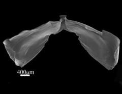 MOL_ 1598_Armina_sp_6200_03_359x276.gif (MaKuriwa) Tags: mollusca gastropoda nudibranchia arminidae armina