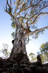 Towering Gum Tree (Shane_Henderson) Tags: canonefs1755mmf28isusm canoneos350d edwardsriver newsouthwales australia gumtree