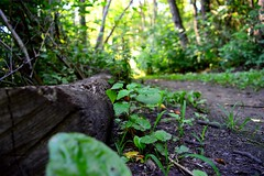 Log (MatthewPlicinski) Tags: log ground trail plant plants dirt forest outdoor twigs sticks leaves