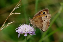IMGP5689 Meadow Brown, Devil's Dyke (Burwell, Cambs), July 2016 (bobchappell55) Tags: insect butterfly meadowbrown devilsdyke cambridgeshire grassland