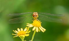 Dragonfly (Delbrücker) Tags: dragonfly libelle macro makro insect insekt animal tier nikond610 nikkor105mm