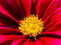 Taking the gold (Steve-h) Tags: nature natur natura naturaleza gold red maroon crown golden summer august 2016 ef eos canon camera lens dublin ireland europe cosmos centre petals steveh
