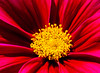 Taking the gold (Steve-h) Tags: nature natur natura naturaleza gold red maroon crown golden summer august 2016 ef eos canon camera lens dublin ireland europe cosmos centre petals steveh allrightsreserved