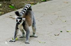 Ring-tailed Lemur (creati.vince) Tags: creativince shanghai wildanimals lemur china mammals pudong shanghaiwildanimalpark