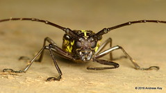 Taeniotes sp., Cerambycidae (Ecuador Megadiverso) Tags: andreaskay beetle cerambycidae coleoptera ecuador lamiinae longhornbeetle loscedros taeniotessp