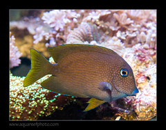 cteno-cyanocheilus7090_110616 (kactusficus) Tags: reef aquarium captive fauna fish coral rcifal ctenochaetus cyanocheilus tang chirurgien acanthuridae surgeonfish