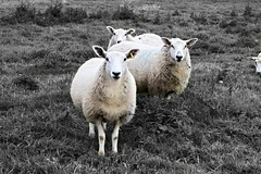 #colourpop #blackandwhite #sheep #colour #wildlife #photography #edit #rural #animals (sophiarutter1) Tags: colour blackandwhite colourpop animals edit wildlife sheep rural photography
