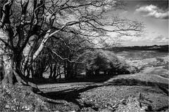 DARTMOOR LANDSCAPE DSC6000 B&W (Blues Boy.) Tags: uk trees bw landscape mono devon dartmoor