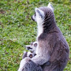 EYES - Parc des flins (Oric1) Tags: france canon maki 150 lemur 600 tamron iledefrance seineetmarne catta lmurien parcdesflins nesles oric1