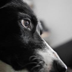 My best friend (explored 2015-05-14) (Bas Bloemsaat) Tags: dog eye nose sheepdog bordercollie