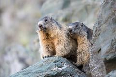 Murmeltiere (MichaelMerl) Tags: austria sterreich urlaub murmeltier marmota grosglockner
