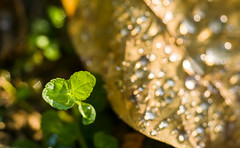 Macro (bdrc) Tags: asdgraphy macro outdoor park sony a6000 sel90m28g gforgreatness prime water droplet evening gold plant nature green flora bokeh explore