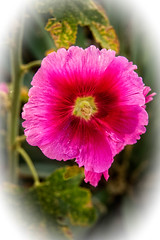 Vigenetted Hollyhock (http://fineartamerica.com/profiles/robert-bales.ht) Tags: pink red plants plant flower nature yellow wow spectacular spring stem superb blossom awesome scenic surreal peaceful hibiscus sensational pedals projects inspirational spiritual sublime ornamental magical hollyhock vignette tranquil magnificent inspiring biennial perennial haybales stupendous greetingcards singleflower herbaceous alcearosea blurredbackground flowerphotography flowerbloom mallowfamily canonshooter forupload robertbales palmatelylobedleaves