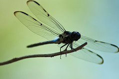 Apalachicola Nat'l Forest, Florida (fisherbray) Tags: usa nikon unitedstates sink dragonfly hiking hike nationalforest trail tallahassee sinkhole apalachicola drysink leonsinks usforestservice apalachicolanationalforest leoncounty d5000 wetsink sinkholetrail fisherbray geologicalarea