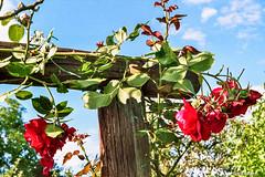 Rosen haben Dornen... # Image036_35A # Praktica B100 Fuji Superia200 exp - 2016 (irisisopen f/8light) Tags: praktika b100 fuji fujifilm superia 200 farbe farbnegativ color colornegativ colour analog irisisopen