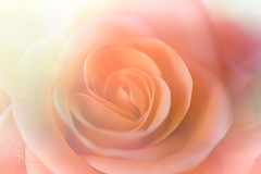 rose (SteffPicture) Tags: macro dreams rose steffpicture flowers blume pflanze macrodreams 100mm canonef100mm128lmacroisusm f28