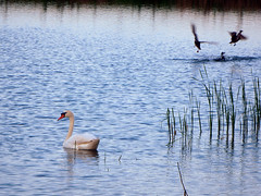 Swan and ducks (STEHOUWER AND RECIO) Tags: blue white lake holland reed nature water netherlands birds animal animals fauna duck swan aqua meer king silent action nederland royal vogels natuur ducks waterbird busy zen flapping quarreling dieren dier royalty waterbirds majesty eenden timing zwaan