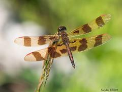 Halloween Pennant, Celithemis eponina (Marv and Sue Elliott) Tags: 2016 summer vermont inat glenlake dragonfly halloweenpennant gelithemiseponina