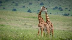 I26A8572 (farhan1mirza) Tags: kenya nairobi giraffe nairobinationalpark