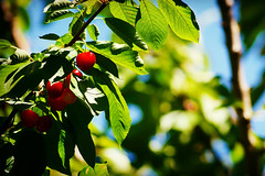 Brigth Cherry (Cmuozfernandez) Tags: cherry cereza guinda arbol hoja leaf rama tronco nature sky cielo azul blue green verde sun sol light luz